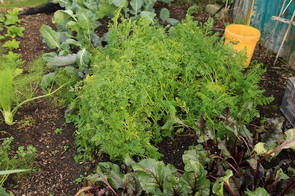 Carrots before harvest