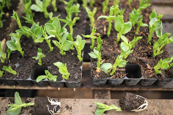 Comparing compost for broad bean seedlings