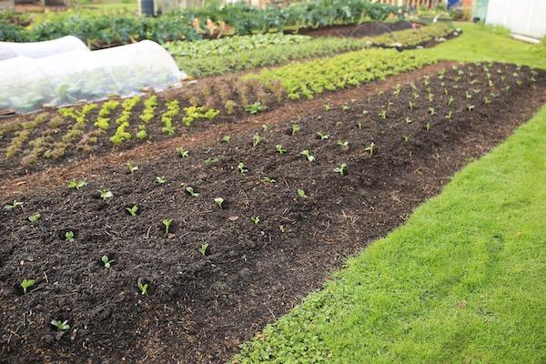 Broad beans transplanted late November