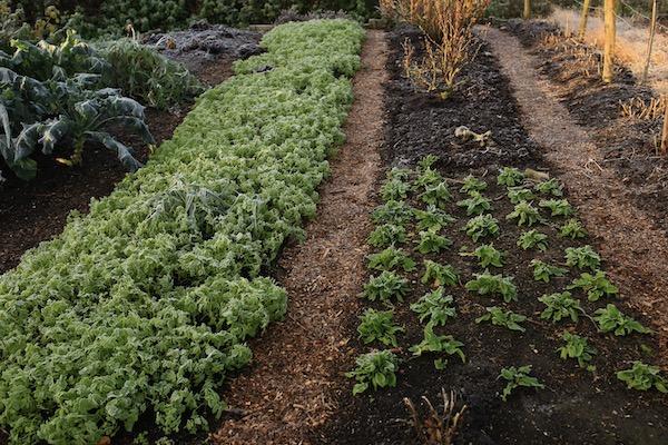 Mustard cover crop, sorrel and garlic