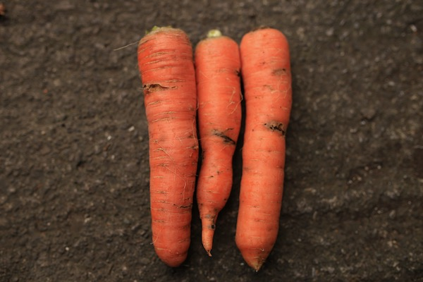 Carrots with maggots of the root fly tunnelling around