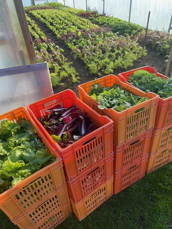 Salad harvest is chicory, mustards, lettuce, endive and herbs