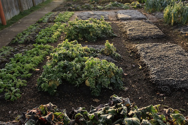Salad plants, celeriac and waiting for beans