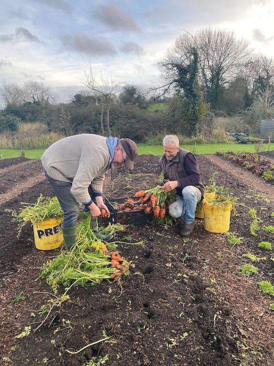 Pulling carrots mid December