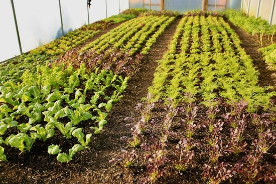 Polytunnel salad plants 20th December