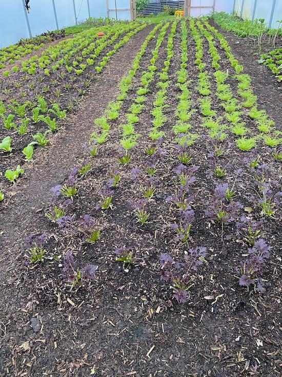 Polytunnel salad plants 21st December