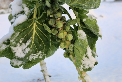 Braemar F1 Brussels sprouts 25th January