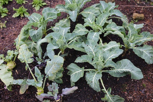 Cauliflower after frost, Medallion