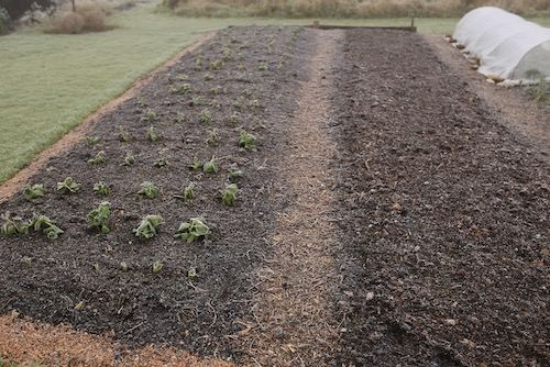 Bean bed before covering 8th January