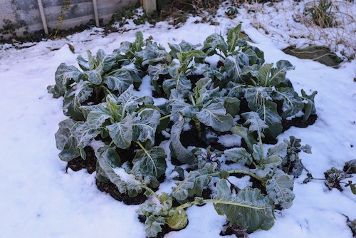 frosted cauliflower behind kohlrabi