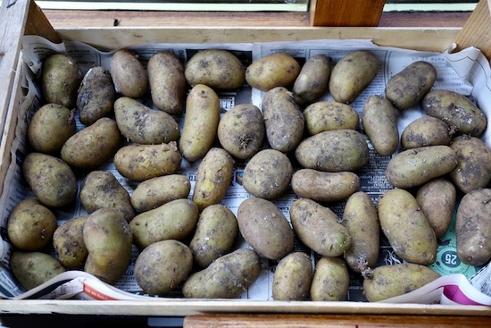 Seed potatoes in light