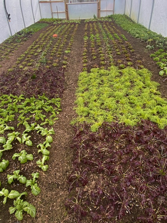 Polytunnel salads are well frozen