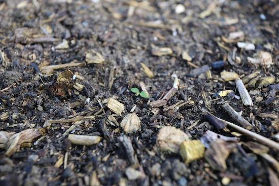 New weed seedlings
