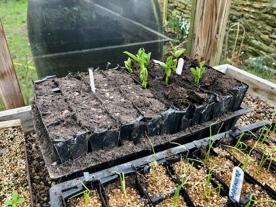 Poor germination in John Innes sowing compost