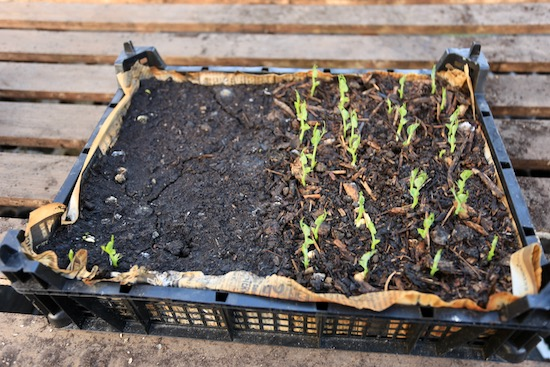 My trial of composts for growing peas