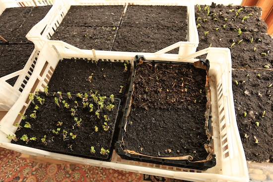 Germinating seeds in the conservatory