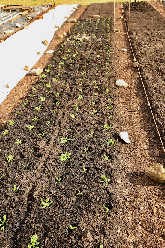 new planting spinach all Medania & fennel