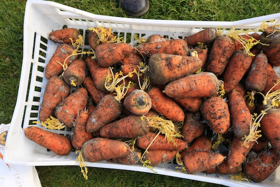 14 weeks since the carrot harvest