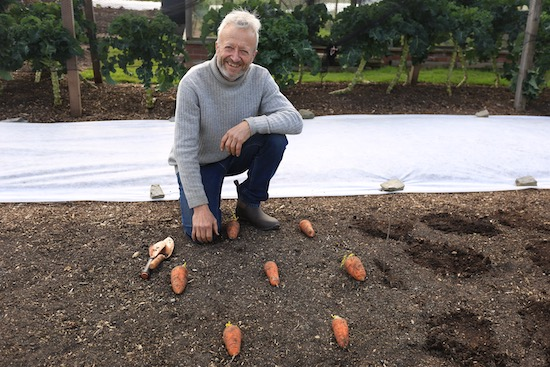 Oxhella carrots for seed and ready to plant