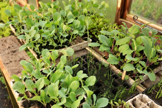 Brassica transplants are ready to go out