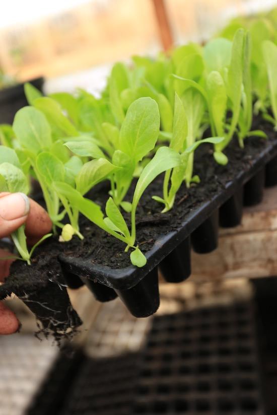 Four week old lettuce seedlings in CD60