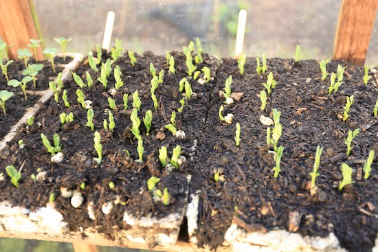 Homesaved seeds germinating strongly compared to brought seed