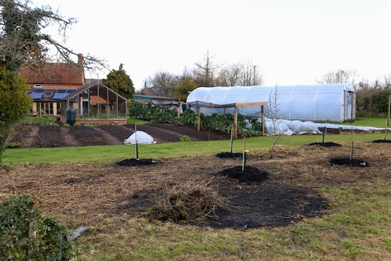 New apple trees planted among the weeds