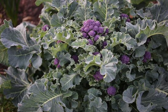 Spring sprouting broccoli