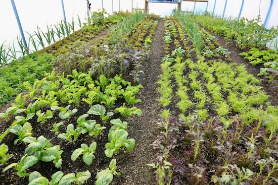 eight month old salad plants polytunnel