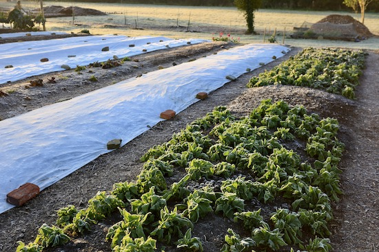 New plantings are under fleece and overwintered spinach is open