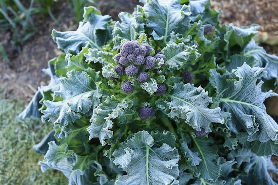 Broccoli survives spring frosts very well