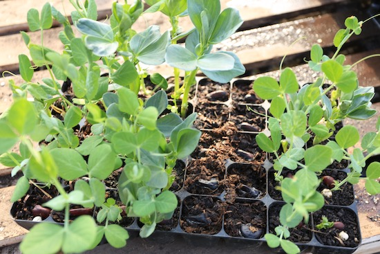 Variable growth in different composts