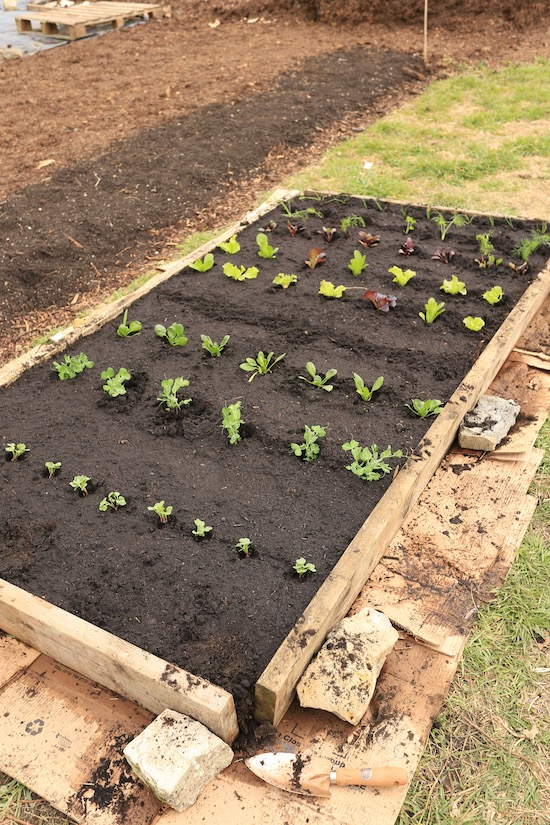 New bed all planted, with potatoes this end and carrots sown middle