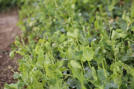 Pea Tall Sugar sown October has cropped all winter for shoots
