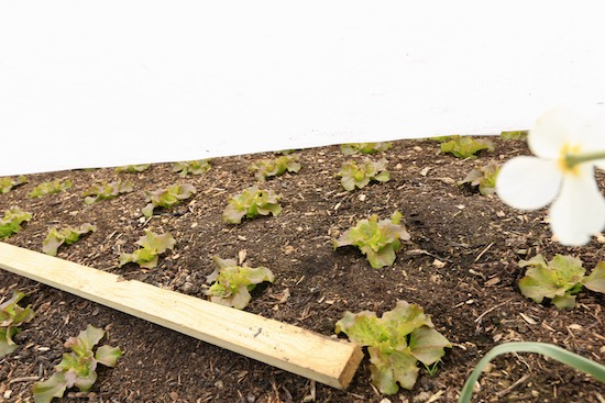batten to hold fleece for frost protection over lettuce