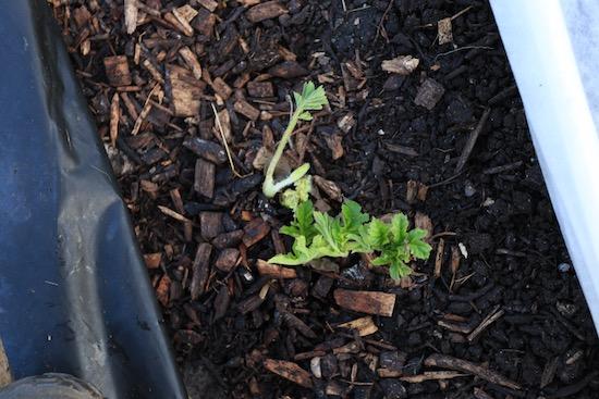 Common hogweed pushing through woodchip