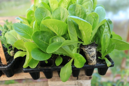 strong roots of lettuce in CD60 tray for propagation
