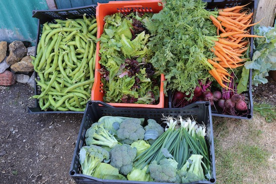 Harvest 2020 of 2nd June calabrese cabbage carrots salad leaves, broad beans