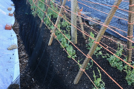 To protect from rabbits we put bird netting around the pea support, but it's not working!