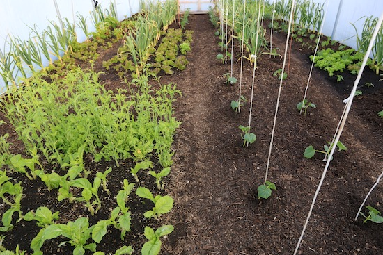19th May just after spreading the annual layer of compost and transplanting cucumbers