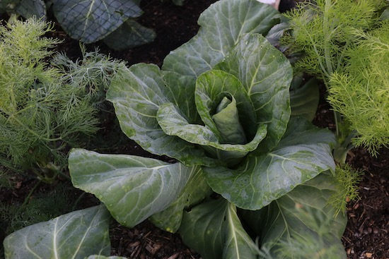 Cabbage Caraflex F1 was under fleece until 27th May, interplanted with dill