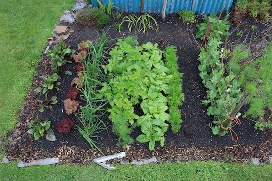 Mixed cropping on this one bed include spinach and potatoes which will soon finish