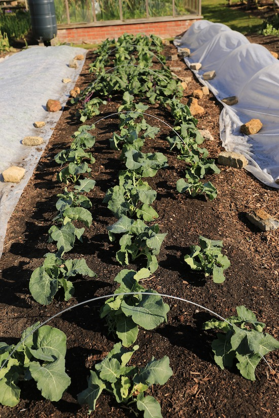 5th May after removing the cover - Belstar broccoli larger plants under fleece