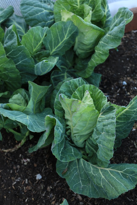 Wheelers Imperial spring cabbage 10th May is ready, was under mesh in winter
