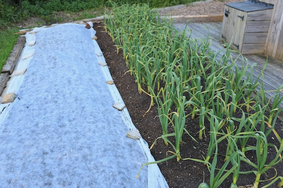 Garlic was planted mid October after squash, 2.5cm compost on top
