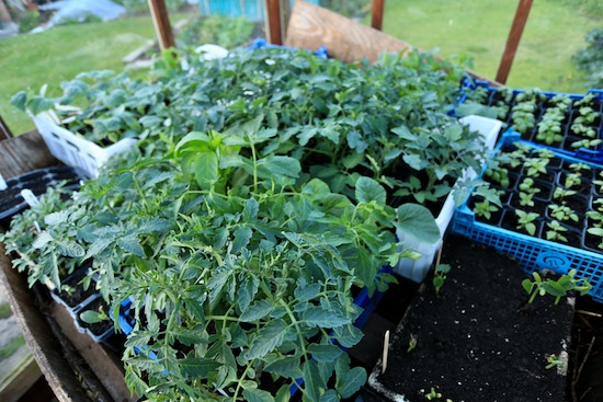 Tomato plants and basil on the now-cooler hotbed