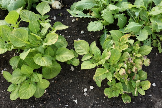 Frost damage to plants edge where touching fleece