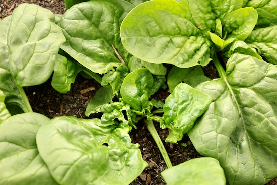 Leatherjacket damage to spinach