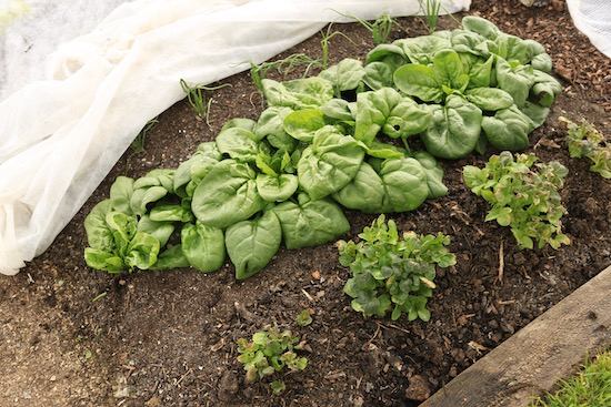 Spinach and potatoes in cold conditions with some frost, and fleece over