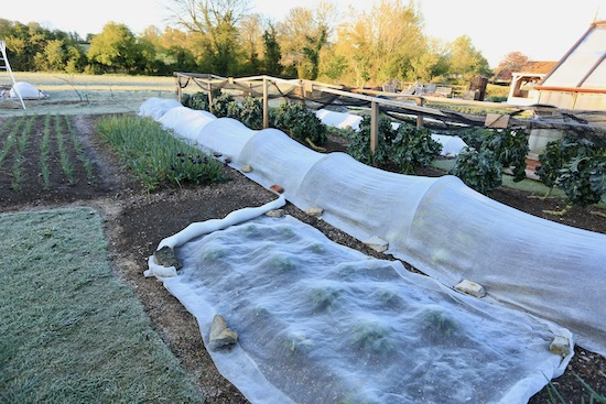 The final frost at Homeacres no dig garden on 7th May